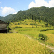 Rice field-Phedi to Dhampus trek route-Nepal. 0468 — Stock Photo