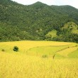 Landscape-rice field on the Phedi-Dampus trek. Nepal. 0469 — Stock Photo