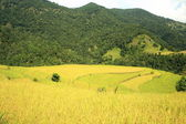 Landscape-rice field on the Phedi-Dampus trek. Nepal. 0469 — Stockfoto