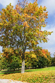 Beautiful autumn tree in the park. — Stock Photo