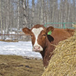 Cow in the corral — Stock Photo