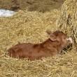 Stock Photo: Calf Resting in hay