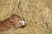 Calf in the hay — Stock Photo
