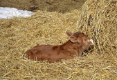 Calf Resting in the hay — Stock Photo