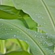 Morning Dew drops on Banana leaves — Stock Photo #34227329