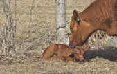 Mother and Her New Born Calf — Stock Photo