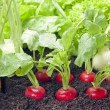 Vegetables mixed assortment growing in the garden — Stock Photo #13926159