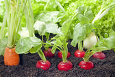 Vegetables mixed assortment growing in the garden — Stock Photo