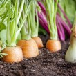 Many fresh organic vegetables growing in the garden closeup — Stock Photo #25387865
