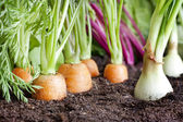 Many fresh organic vegetables growing in the garden closeup — Stock Photo