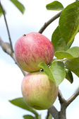 Natural fresh apple growing on the tree closeup — Stock Photo