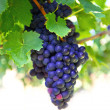 Purple red grapes with green leaves on the vine — Stock Photo #13397764