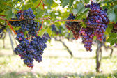 Purple red grapes on the vine — Stock Photo