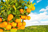 Orange tree on nature background — Stock Photo