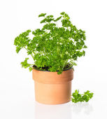 Kitchen herb parsley in pot — Stock Photo