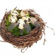 Nest with quail eggs and birds feather — Stock Photo