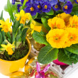Primulas and narcissus in pot on white background - Stock Photo