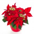 Red poinsettia. christmas flower with golden decoration — Stock Photo #13405257
