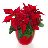 Red christmas flower poinsettia — Stok fotoğraf