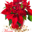Stock Photo: Red poinsettia. christmas flower with golden decoration