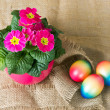 Colorful easter eggs and beautiful primula flowers — Stock Photo