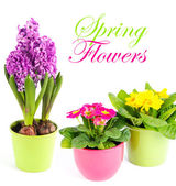 Colorful spring flowers. primulas and hyacinth — Stock Photo