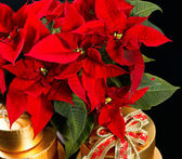 Red christmas flower poinsettia with golden gifts — Stock Photo