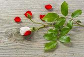 Bud měkkou bílou růži s zelenými listy a červené květy — Stock fotografie