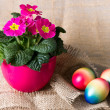 Colorful easter eggs and beautiful primulas flowers (easter comp — Stock Photo