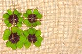 Fresh green clover leaves on burlap — Stock Photo