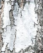 Birch background — Stock Photo