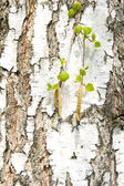Birch tree with green leaves — Stock Photo