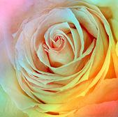Design of fresh open rose — Stock Photo