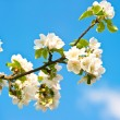 Blossoming apple tree with white flowers over blue sky — Stock Photo #13510639