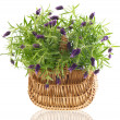 Stock Photo: Beautiful lavender plant in basket