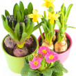 Fresh colorful spring flowers. hyacinth, pink primulas, yellow d — Stock Photo