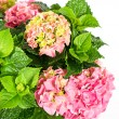 Pink hydrangea. beautiful hortensia on white background — Stock Photo #13511037