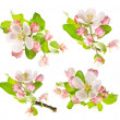Apple tree spring blossoms on white background — Stock Photo