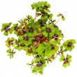 Four leaf clover plant. St. Patrick's Day symbol — Stock Photo