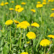 Dandelion flowers in green grass — Stock Photo