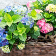Постер, плакат: Colorful hydrangea bushes