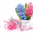Blue and pink spring hyacinth flowers — Stock Photo