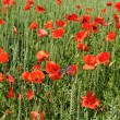 Spring wheat field with poppy flowers — Stock Photo #13512349
