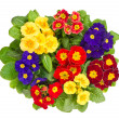 Assorted primula flowers isolated on white — Stock Photo #13512596