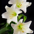 White lily flowers bouquet on black — Stock Photo