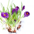 Spring crocus flowers isolated on white background — Stock Photo