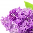 Spring lilac flowers on white background - Stock Photo
