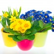 Постер, плакат: Primulas and narcissus in colorful pots