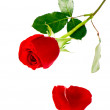 Stock Photo: Single red rose flower