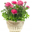 Beautiful pink ranunculus plant in pot on white — Stock Photo